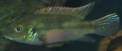 Benitochromis conjunctus - Click for species data page