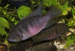 Benitochromis nigrodorsalis - Click for species data page