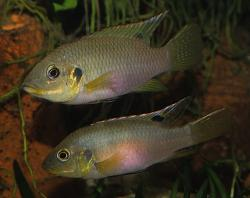 Benitochromis riomuniensis - Click for species data page