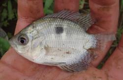 Chaetobranchopsis australis - Click for species data page