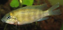 Chilochromis duponti - Click for species data page