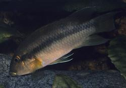 Chromidotilapia cavalliensis - Click for species data page