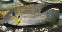 Chromidotilapia kingsleyae - Click for species data page