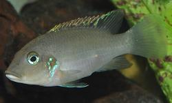 Chromidotilapia linkei - Click for species data page