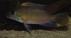 Chromidotilapia mamonekenei - Click for species data page