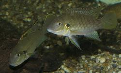 Chromidotilapia melaniae - Click for species data page