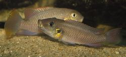 Chromidotilapia nana - Click for species data page