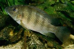 Chromidotilapia regani - Click for species data page