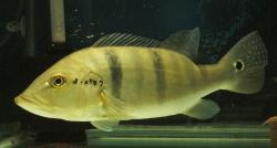 Cichla piquiti - Click for species data page