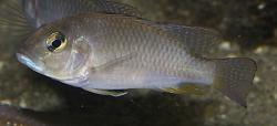 Ctenochromis polli - Click for species data page