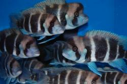 Cyphotilapia frontosa - Click for species data page