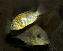Etia nguti - Click for species data page