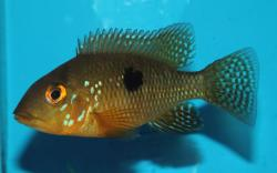 Geophagus brasiliensis - Click for species data page