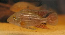 Geophagus iporangensis - Click for species data page