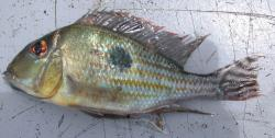 Geophagus megasema - Click for species data page