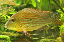 Geophagus neambi - Click for species data page