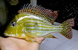 Geophagus proximus - Click for species data page