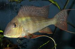 Geophagus surinamensis - Click for species data page