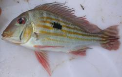 Geophagus winemilleri - Click for species data page