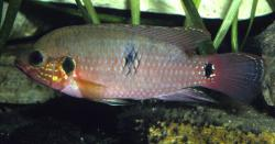 Hemichromis bimaculatus - Click for species data page
