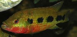 Hemichromis frempongi - Click for species data page