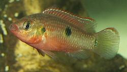 Hemichromis letourneuxi - Click for species data page