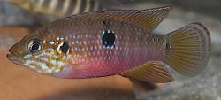 Hemichromis stellifer - Click for species data page