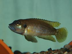 Lamprologus speciosus - Click for species page