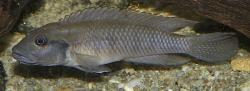 Lamprologus teugelsi - Click for species page