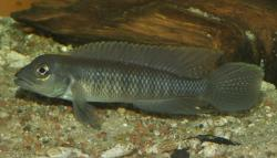 Lamprologus tigripictilis - Click for species page