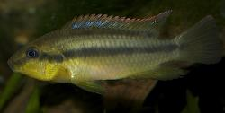 Limbochromis robertsi - Click for species data page