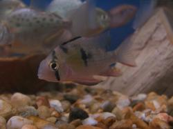 Mikrogeophagus altispinosus - Click for species data page