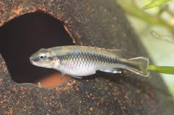 Nanochromis minor - Click for species data page