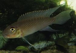 Nanochromis nudiceps - Click for species data page