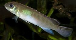 Nanochromis parilus - Click for species data page