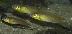 Nanochromis teugelsi - Click for species data page