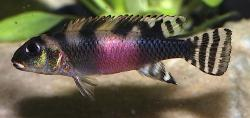 Nanochromis transvestitus - Click for species data page