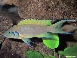 Neolamprologus pulcher - Click for species data page