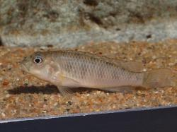 Orthochromis malagaraziensis - Click for species data page