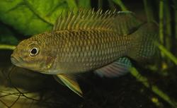 Parananochromis brevirostris - Click for species data page