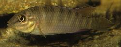 Parananochromis caudifasciatus - Click for species data page