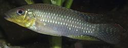 Parananochromis longirostris - Click for species data page