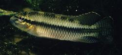 Parananochromis ornatus - Click for species data page