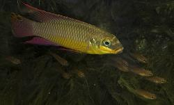 Pelvicachromis kribensis - Click for species page