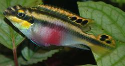 Pelvicachromis pulcher - Click for species data page