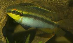 Pelvicachromis roloffi - Click for species data page