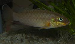 Pelvicachromis taeniatus wouri - Click for species page