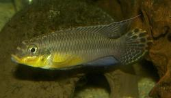Pelvicachromis taeniatus - Click for species page