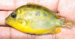 Pseudetroplus maculatus - Click for species data page