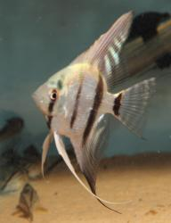 Pterophyllum scalare - Click for species data page